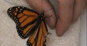 Comment réparer une aile de papillon briser