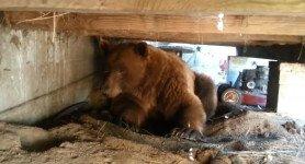 Il trouve un ours, qui ce cache sous son balcon